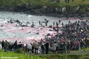 Crowd Watches Slaughter in Faroe Islands, Denmark
