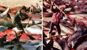 Japan Annual Dolphin Slaughter