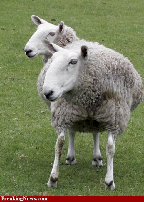 Two-Headed Sheep