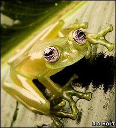 _46504248_glasstreefrog