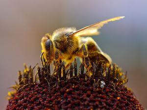 BEE POLINATINGchili_6_bg_081404