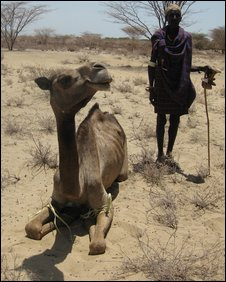 """When they are slaughtering camels it is like throwing away the pension"""